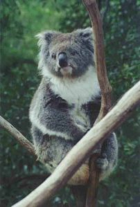 I was sorry not to see koalas in the wild, but this one at the Healeville Sanctuary posed for me very nicely.