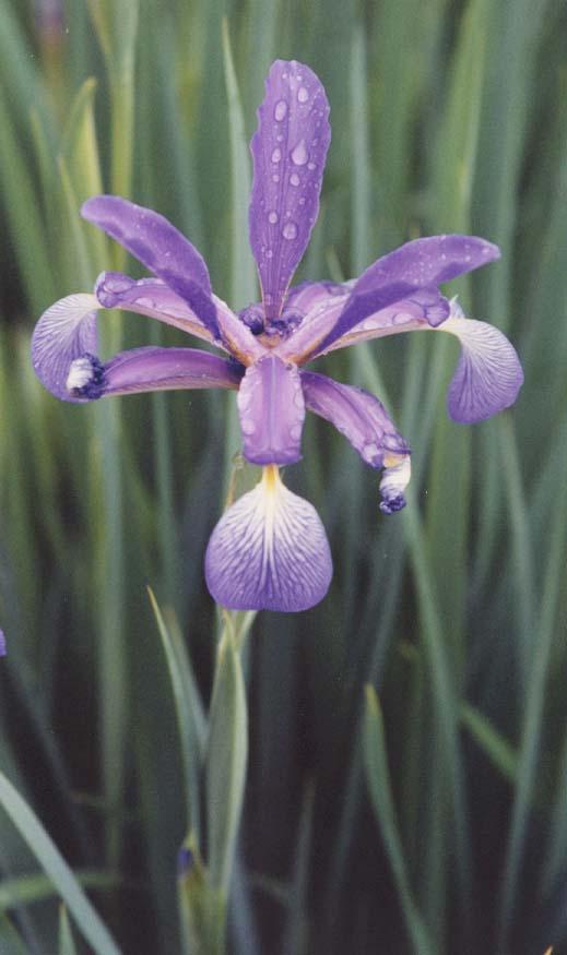 An Iris at Château Malmaison